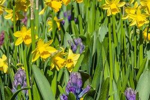 Daffodil flowers in the garden