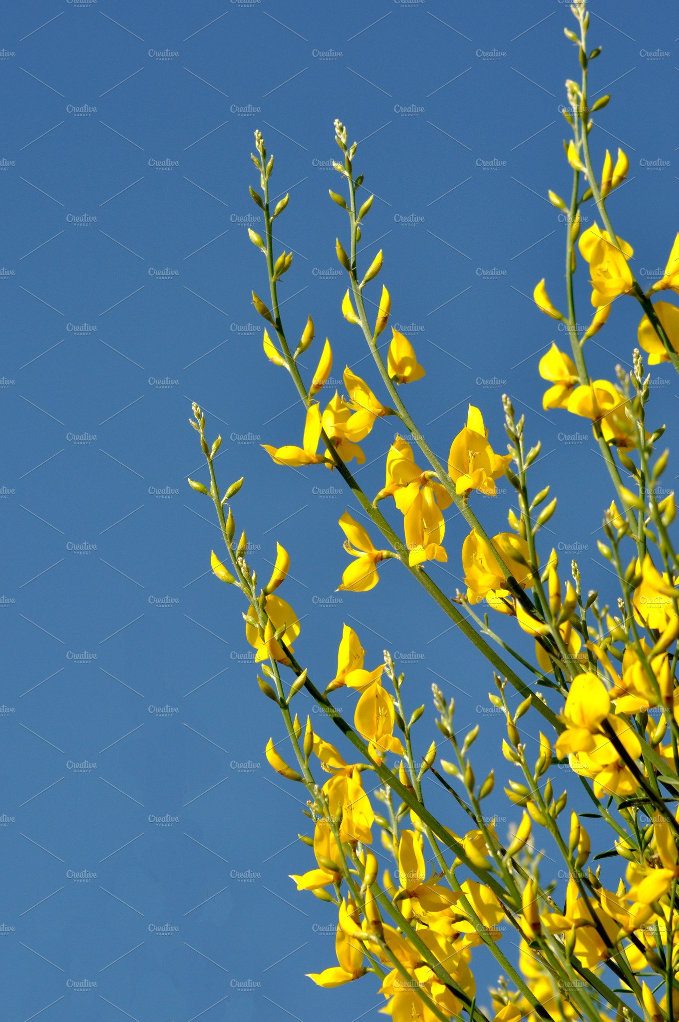 Yellow Broom Flower Over Blue Sky Nature Photos Creative Market
