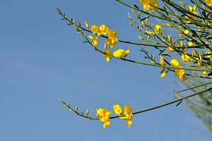 Yellow broom flower over blue sky