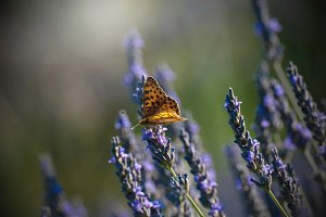 Butterfly in levender