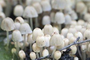 Mushrooms Coprinus disseminatus