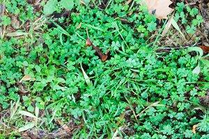 Clover and Dry Grass Close Up