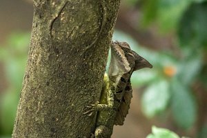 Basilisk Lizard
