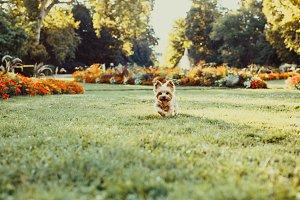 Running Yorkshire Terrier Dog