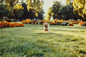 Yorkshire Terrier Dog on a meadow