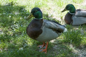 Green Collar ducks