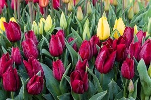 Red and yellow tulip bulbs in flower