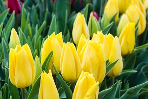 Yellow and red tulip bulbs in flower