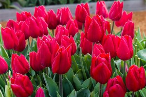 Red tulip bulbs in flower