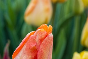 Orange tulip bulbs in flower