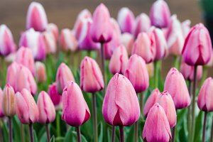 Light pink tulip bulbs in flower