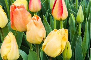 Yellow tulip bulbs in flower