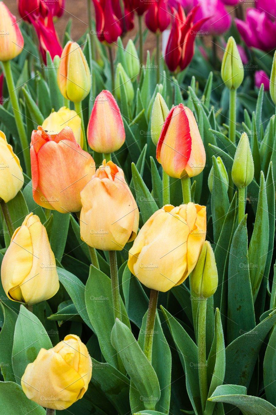Yellow Tulip Bulbs In Flower Nature Photos Creative Market