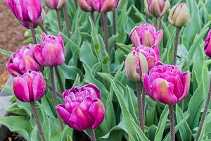 Purple tulip bulbs in flower