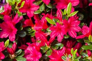 Red azalea flower in bloom