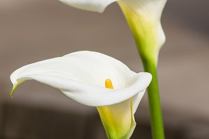 White calla lily flowers in bloom