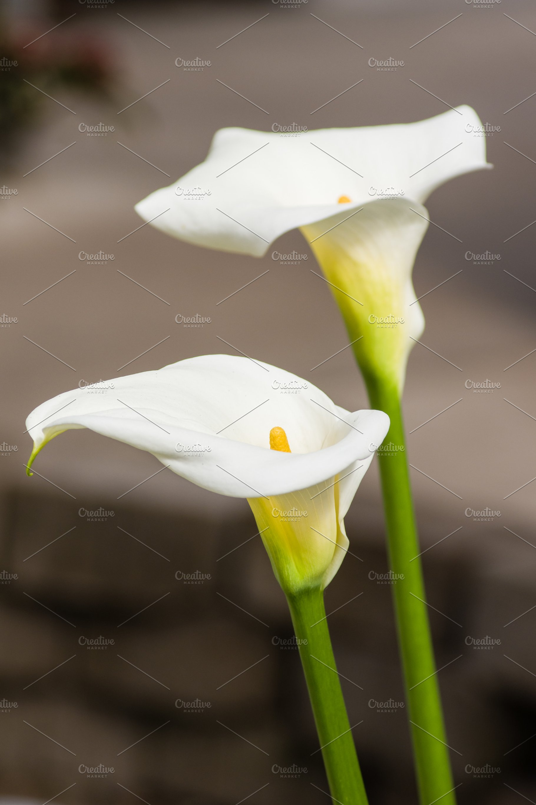 White Calla Lily Flowers In Bloom High Quality Nature Stock