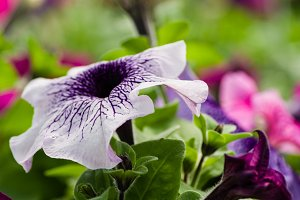 Single purple petunia flower bloom