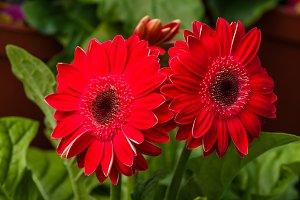 Red gerbera daisy in flower