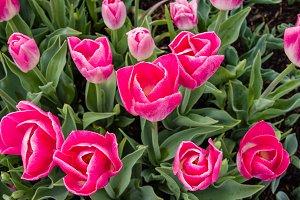 Pink tulip bulbs in flower