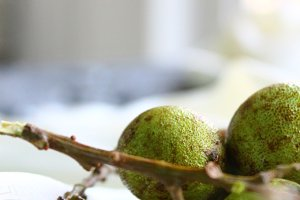 Kenep: A Close Relative to Lychees