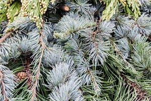 Arrangement of evergreens