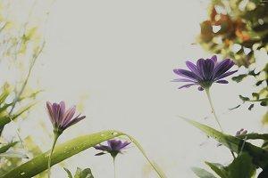 Purple Daises in the Sunlight