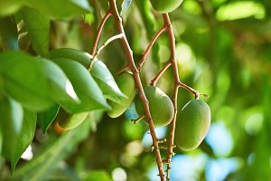 Mango tree branch