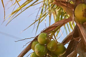 Palm branch with coconut