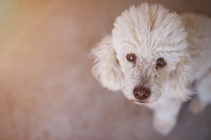 White poodle dog portrait