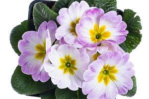 Light pink primrose