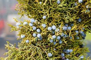 Juniper greens with berries