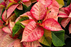 Decorative poinsettia plants