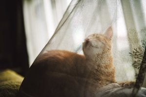 Ginger cat behind a curtain