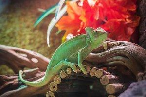 green chameleon - calyptratus