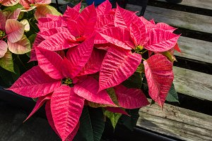 Pink poinsettia plant in flower