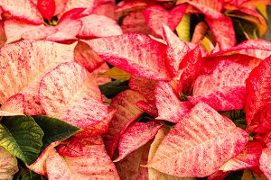 Bright bracts on poinsettia plant