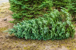 Cut evergreen for Christmas