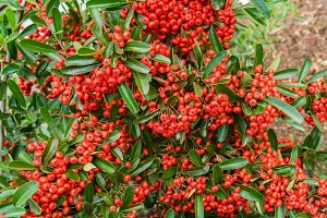 Pyracantha bush and berries