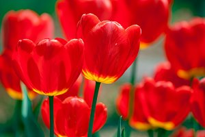 Bright red tulip flowers background