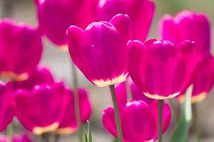 Violet tulip flowers spring background