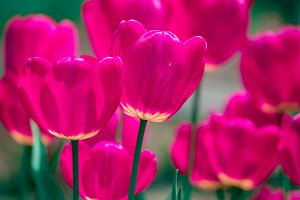 Pink and violet tulip flowers