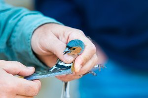 wing of Common chaffinch