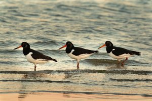 Three oyster catchers on the beach