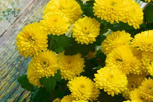 Yellow Chrysanthemum Bunch