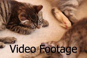 Cute little cat licks his leg.
