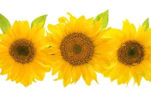 Sunflower head isolated JPG