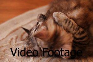 Bobtail kittens play.