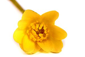ficaria verna yellow spring flowers isolated on white background