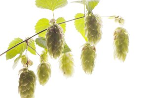 Twig of hops